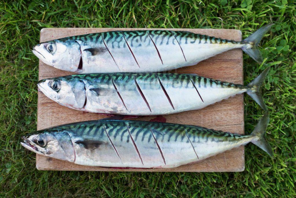 Fish - Mackerel (1)